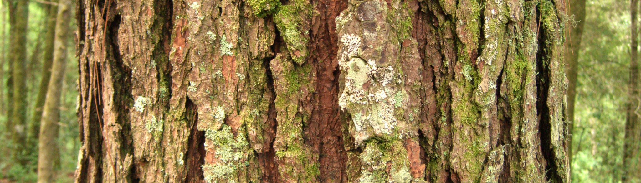 kora drzewa