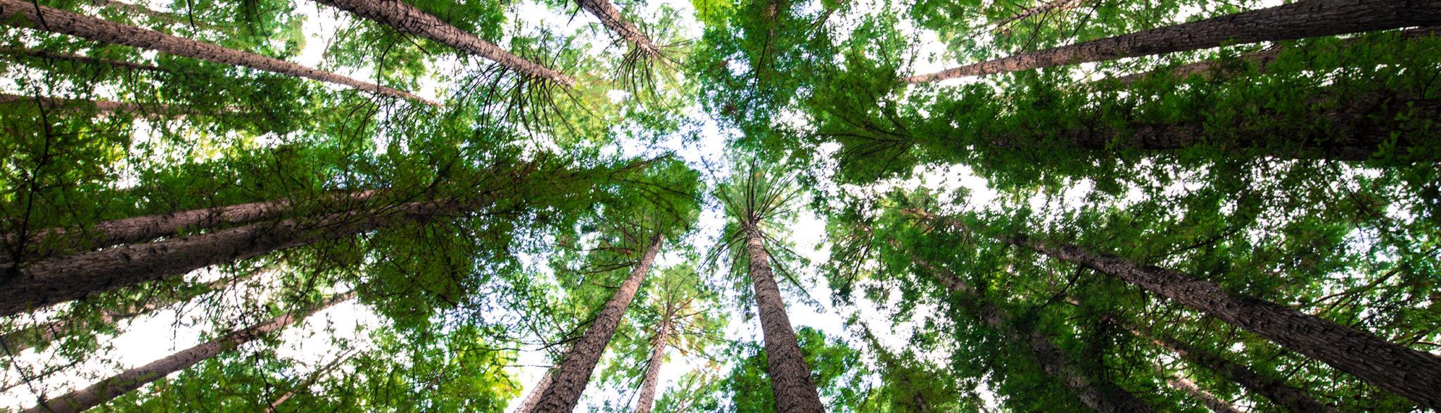 korony drzew widziane widok od dołu