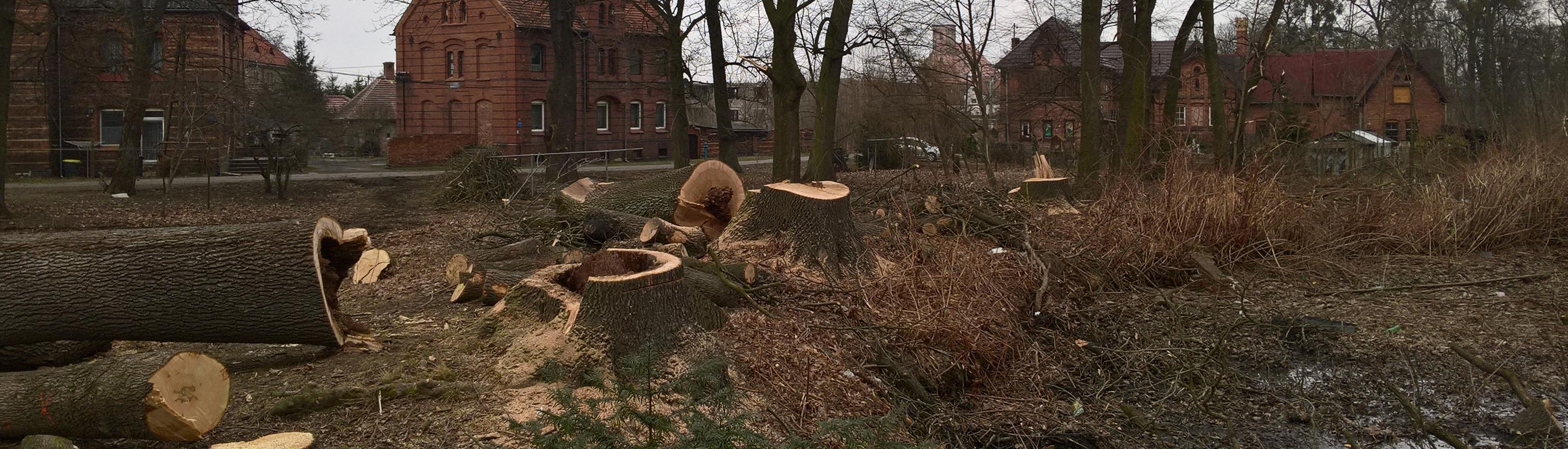 pnie ściętych drzew przygotowane do frezowania
