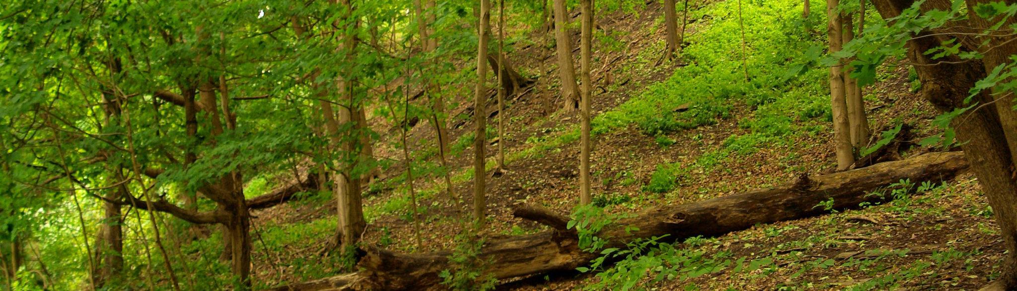 powalone drzewo w lesie