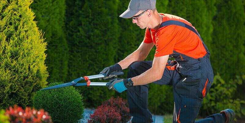 profesjonalny ogrodnik przycina rożliny w ogrodzie
