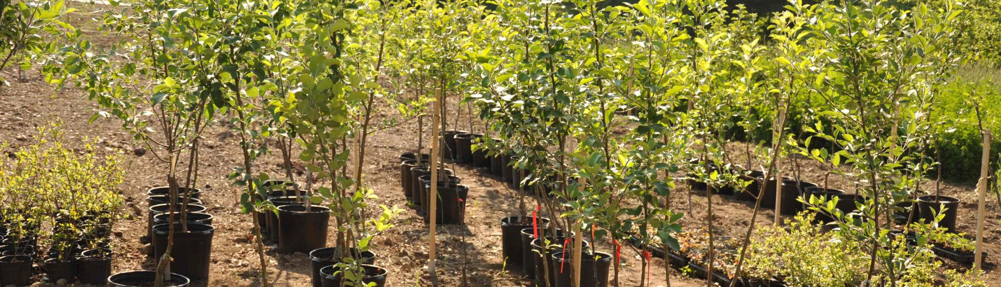 sadzonki drzew przygotowane do zadołowania