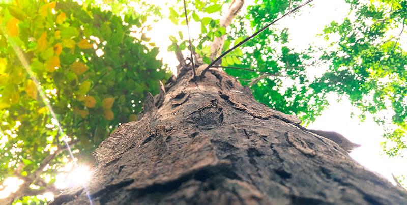 zdjęcie pnia sfotografowanego od dołu ku koronie drzewa