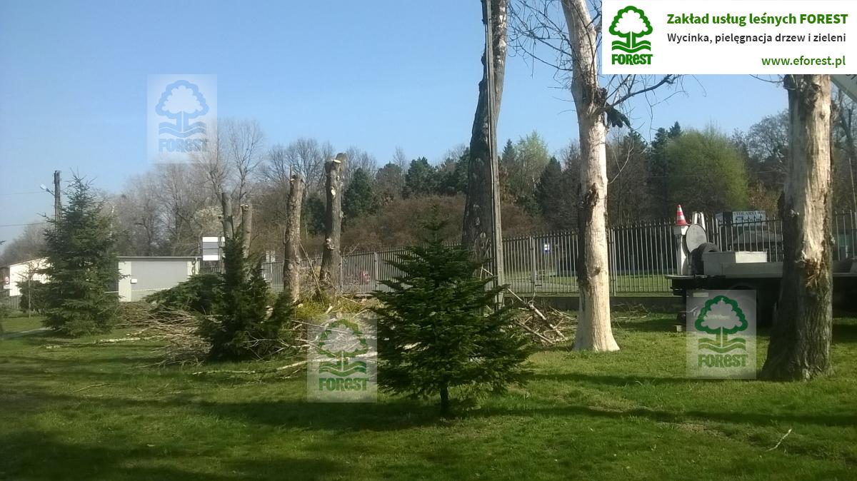 Niemodlin wycinanie obumarłych drzew na działce prywatnej