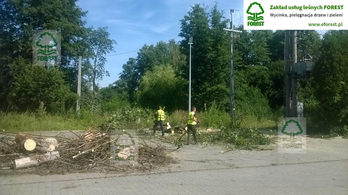 Niemodlin wycinka drzewa rosnącego przy linii elektroenergetycznej