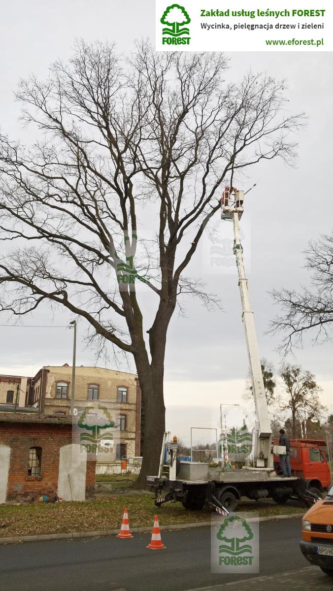 obcinanie gałęzi drzewa przycinka konarów z podnośnika koszowego