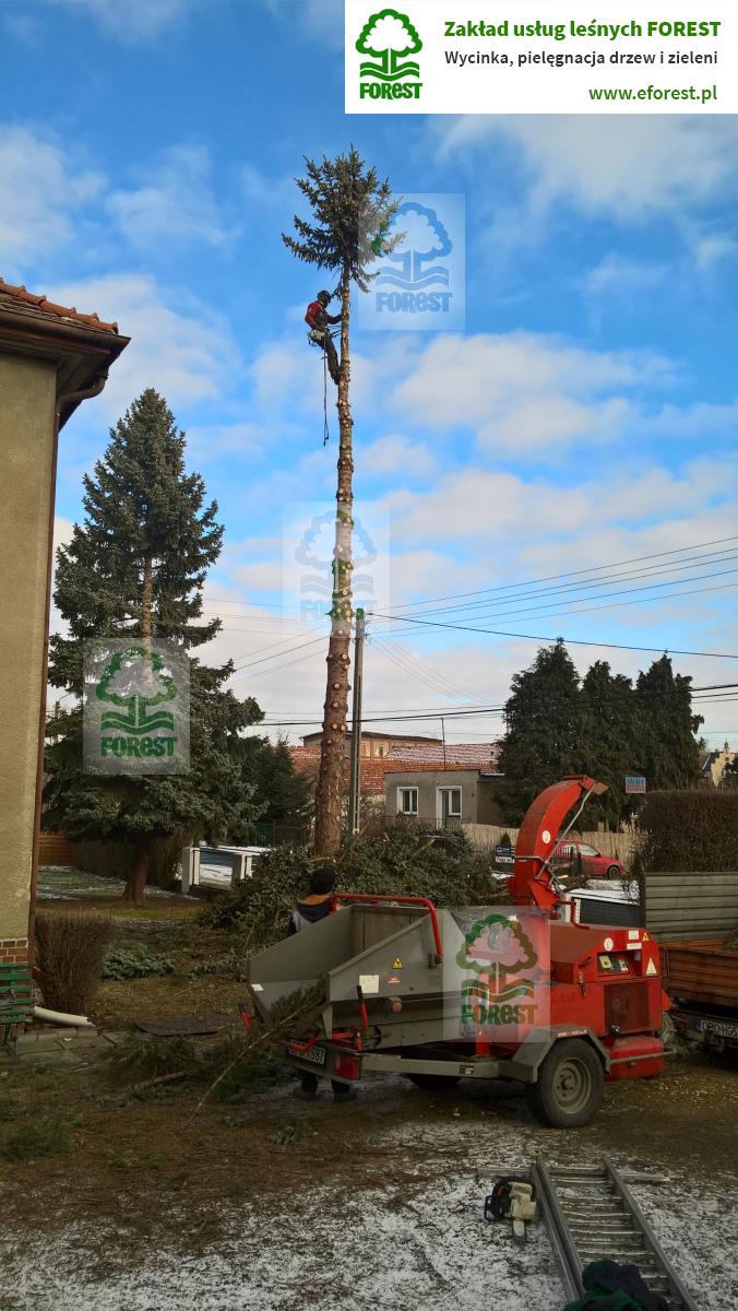 wycinka wysokiego drzewa na posesji prywatnej w Niemodlinie