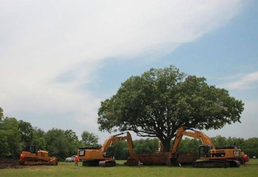 przesadzanie 100 letniego dębu w League City w Teksasie