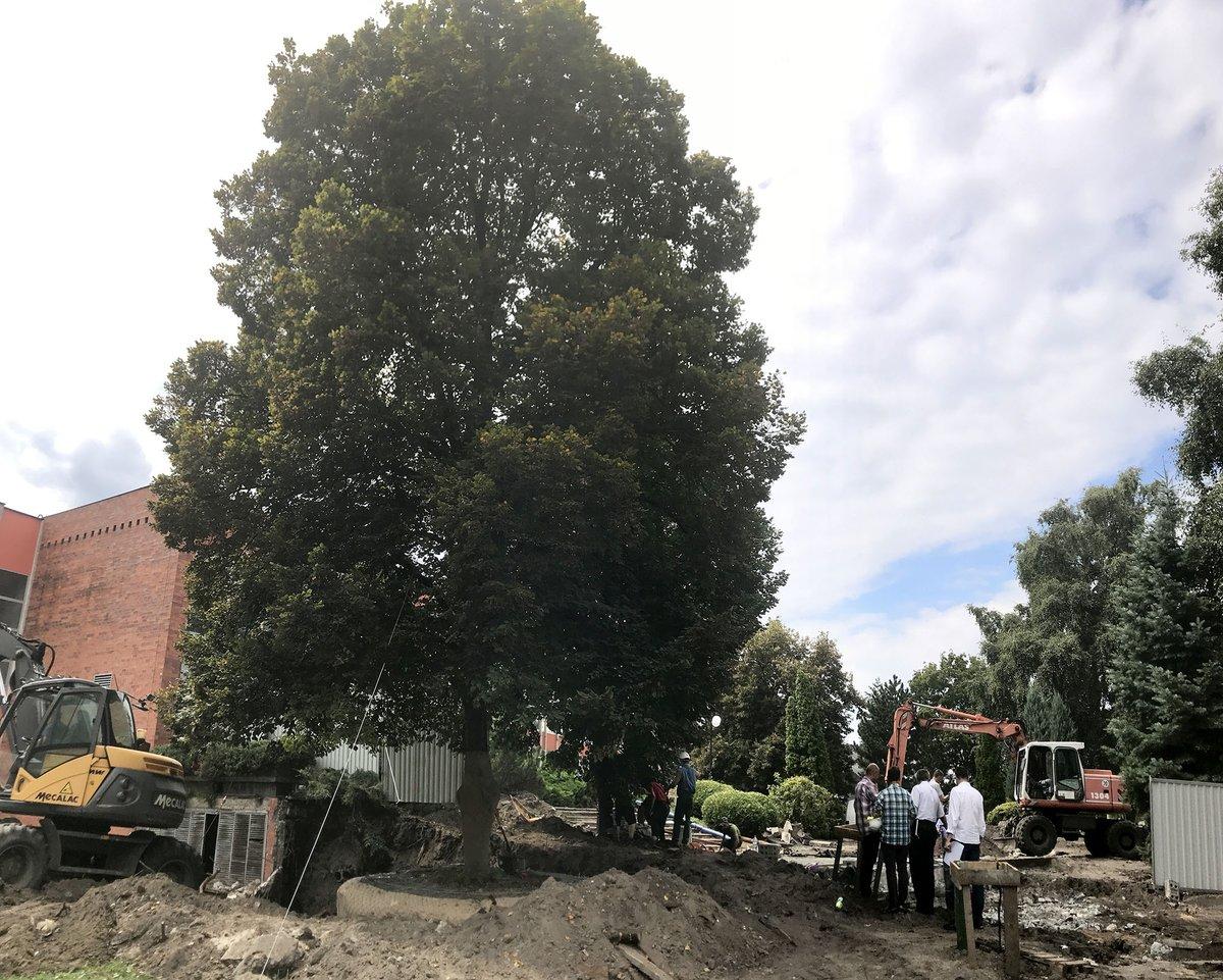 Przesadzanie 34 letniej lipy na terenie AGH w Krakowie