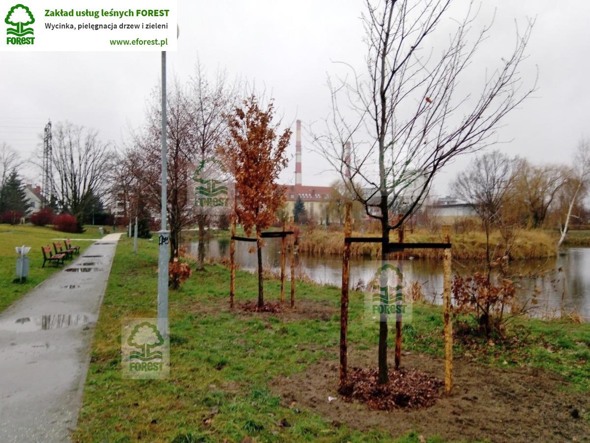 Nasadzenia drzew Park Miejski Wrocław dzielnica Oporów