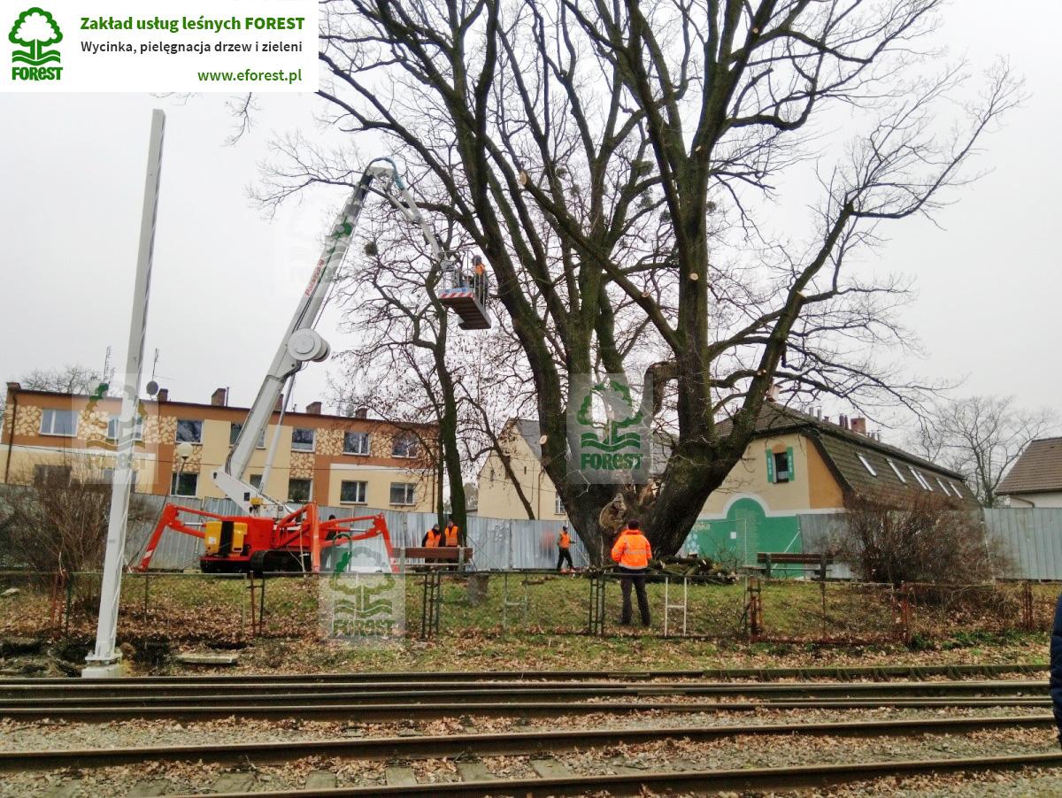 Pielęgnacja drzewa Pomnik Przyrody Karlik w Gogolinie